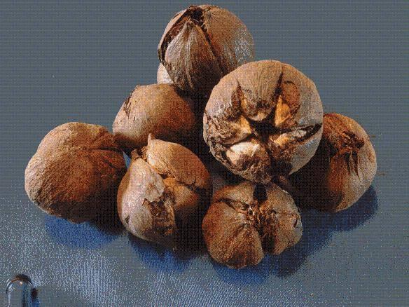 De zaden van de Tung-boom die wel iets weg hebben van enorme kastanjes bevatten de waardevolle Tungolie. Uit deze zaden wordt de Chinese houtolie oftewel Tungolie gewonnen waarmee houten voorwerpen zowel voor binnen als voor buiten zo prachtig kunnen worden afgewerkt en beschermd ,et een zijdeglanzende beschermfilm